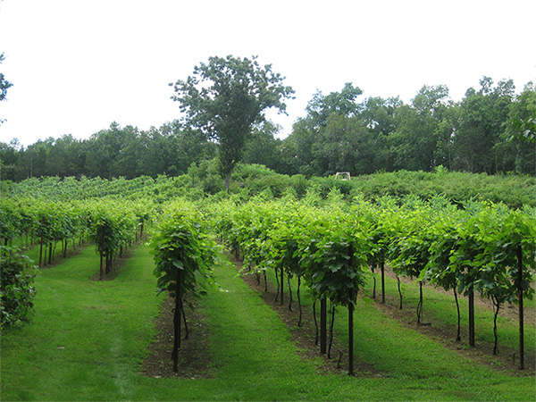 Rows of grape vines at the Clearview Vineyard